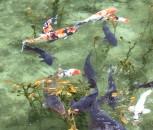 モネの池_2